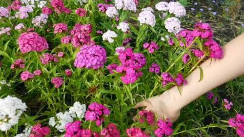 Диадема турецкая гвоздика отличается соцветиями диаметром в см, которые собраны из темнокарми новых цветов с зубчатыми краями и белой серединкой