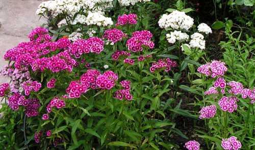 Купферрот сорт отличается медно красными цветочками диаметром около см и высотой в см