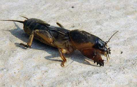 Капустянка заводится в удобренной земле, часто можно встретить насекомое в навозных, перегнойных массах