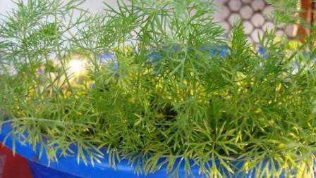 Как вырастить укроп, выбираем семена и посадочный