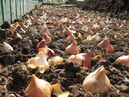 Как  посадить тюльпаны осенью, преимущества