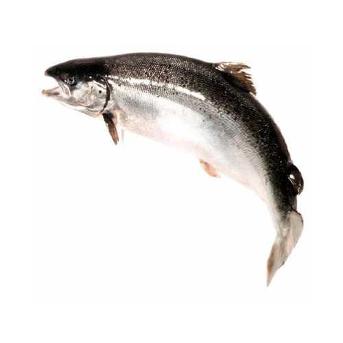 Польза лосося, возможный вред, кому  лосося