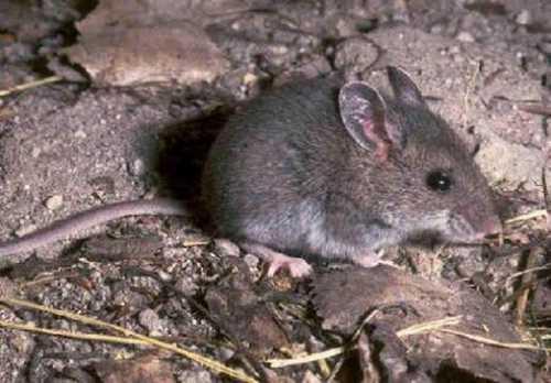 К чему снится серая мышь: толкование сна про