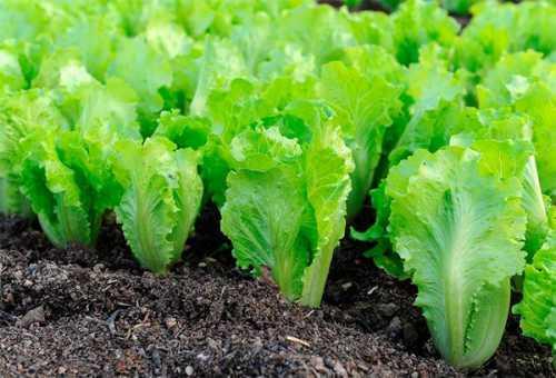 Разнообразие и обилие витаминов, минералов и других полезных веществ присутствующих в листьях салата, делает его незаменимым для всех систем человеческого организма