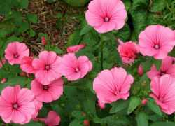 Лаватера: посадка и уход: выбираем семена, место