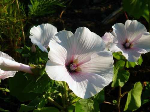 Можно сеять семена и в открытом грунте но атмосферные условия должны быть оптимальными на весь период их прорастания